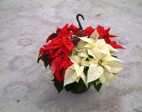 zoom_PoinsettiaBasket101129113410